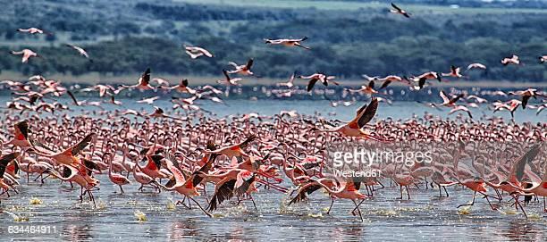 Kenya, Great Rift Valley, Lake Nakuru, lesser flamingos