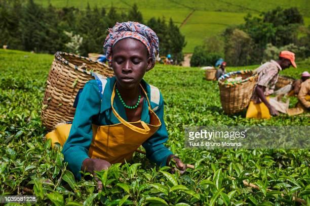 kenya, kericho, tea collect - kenya stock pictures, royalty-free photos & images