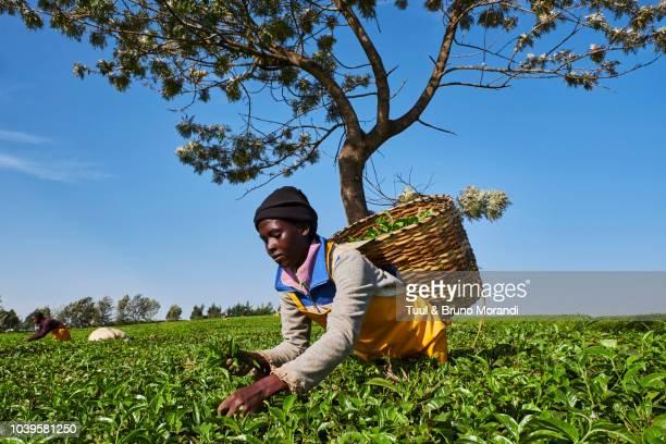 Kenya, Kericho, tea collect