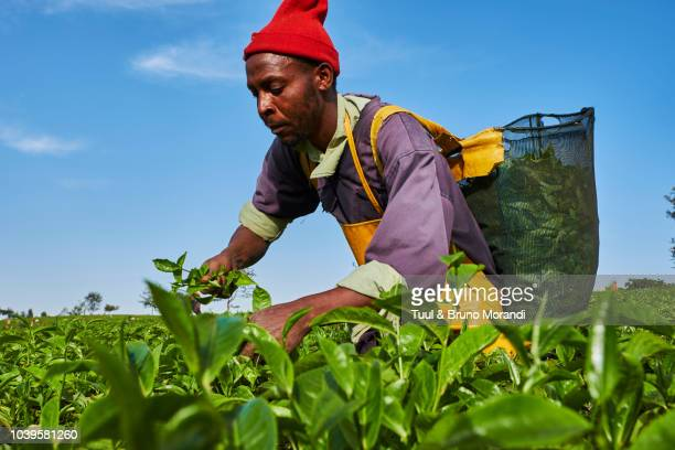 kenya, kericho, tea collect - east africa stock pictures, royalty-free photos & images