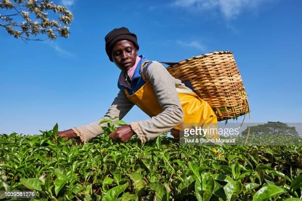 kenya, kericho, tea collect - tea crop stock pictures, royalty-free photos & images