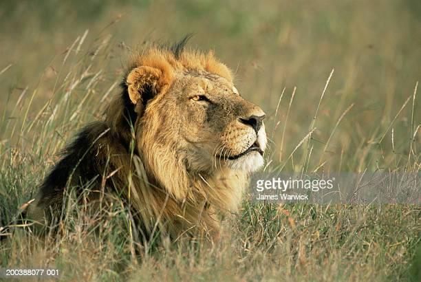 Kenya, Laikipia District, Lion (Panthera leo)