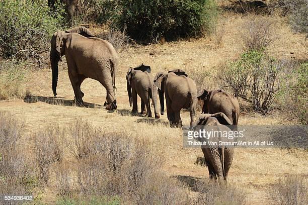 Kenya Laikipia Il Ngwesi family of elephant in single file