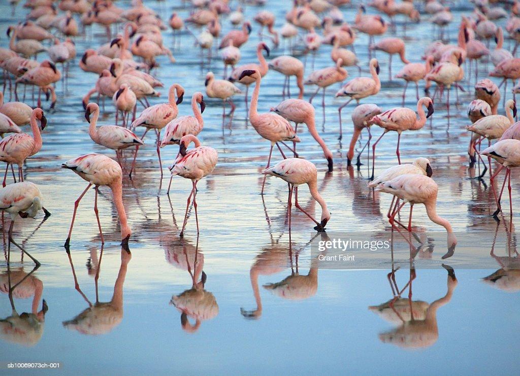 Kenya, Lake Nakaru, group of Lesser Flamingoes in shallow water : Stockfoto