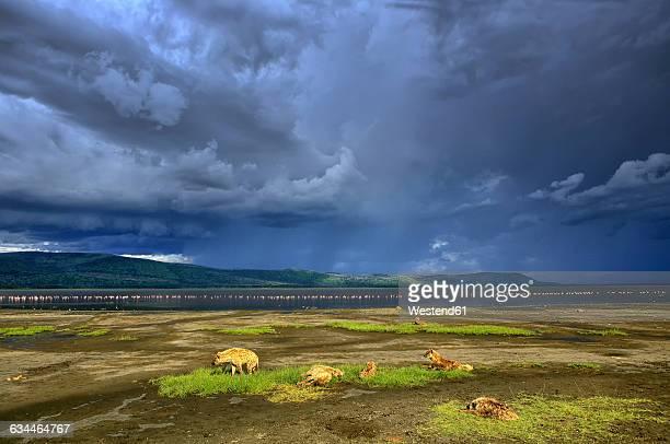 kenya, lake nakuru national park, spotted hyenas in front of lake nakuru - lake nakuru stock photos and pictures
