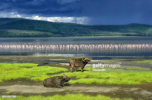 kenya, lake nakuru national park, two cape buffalos in front of lake nakuru - lake nakuru stock photos and pictures