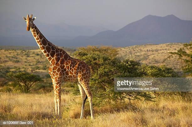 kenya, lewa conservancy, giraffe standing in savannah - giraffe stock pictures, royalty-free photos & images