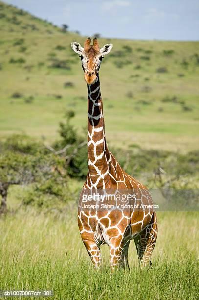kenya, lewa conservancy, masai giraffe standing on grassland - giraffe stock pictures, royalty-free photos & images