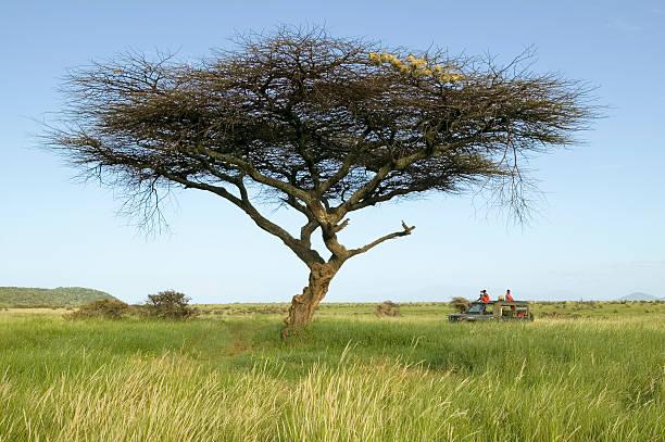 Kenya, Lewa Conservancy, Masai safari guides in landcruiser vehicle under Acacia tree