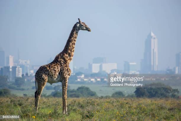 kenya: masai giraffe - nairobi stock pictures, royalty-free photos & images