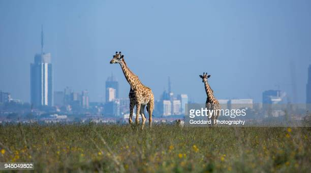 kenya: masai giraffe - nairobi stock pictures, royalty-free photos & images