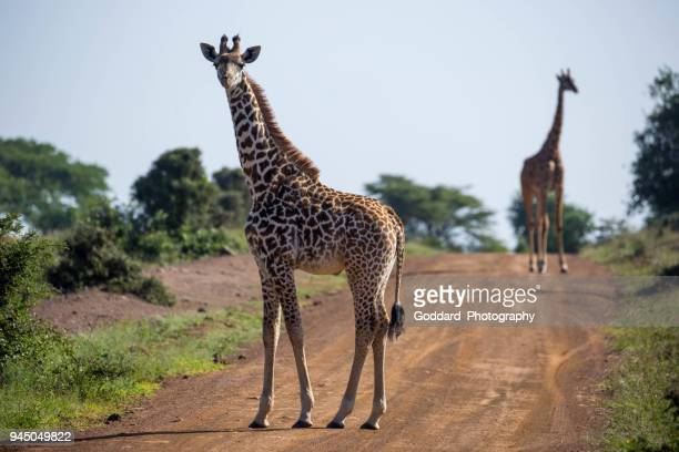 Kenya: Masai giraffe