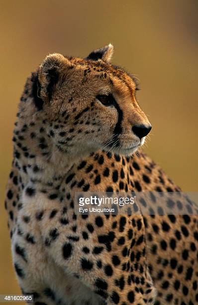 Kenya Masai Mara Cheetah Acinonyx Jubatus Single animal Head and shoulders shot