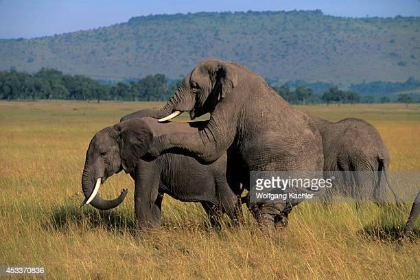 Kenya Masai Mara Grassland Elephants Mating