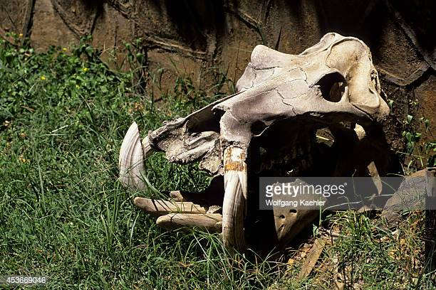 Kenya Masai Mara Hippopotamus Skull