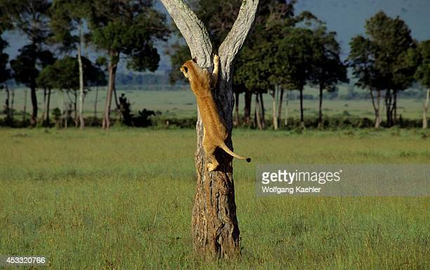 Kenya Masai Mara Lioness Climbing Down Out Of Tree
