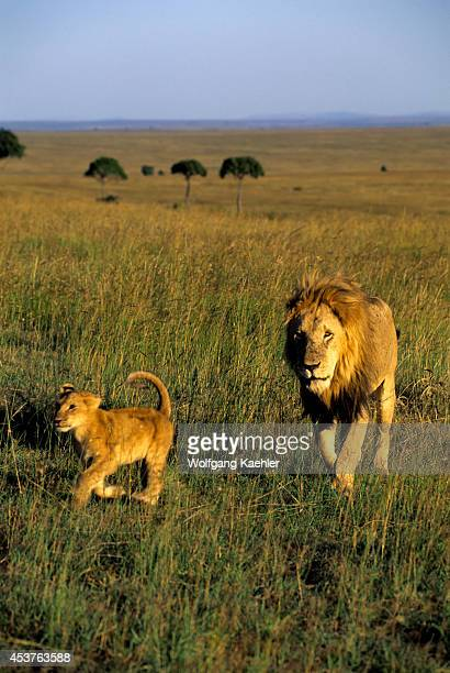 Kenya Masai Mara Lions Walking Through Grass