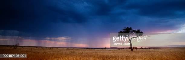 kenya, masai mara, lone tree, storm passing over, sunset - 自然保護区 ストックフォトと画像