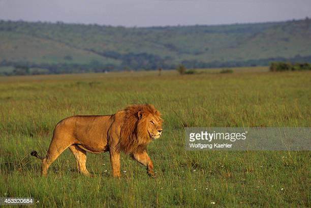 Kenya Masai Mara Male Lion Stalking Through Grass