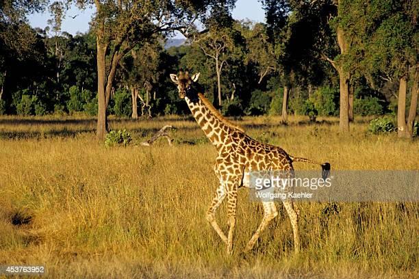 Kenya Masai Mara Masai Giraffe Baby