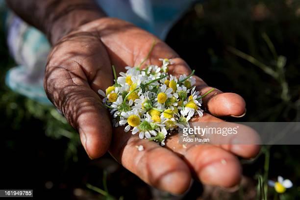 kenya, meru, chamomile - meru filme stock-fotos und bilder