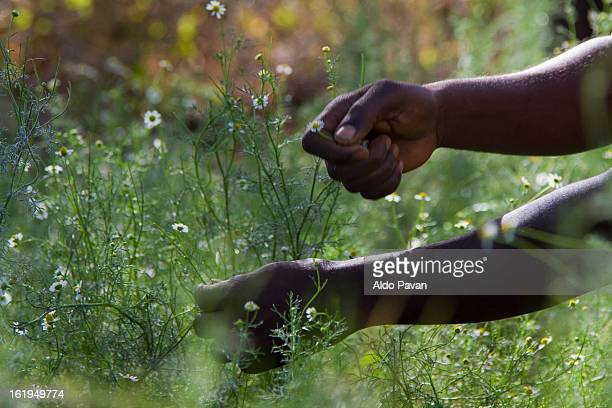 kenya, meru, harvesting chamomile - meru filme stock-fotos und bilder