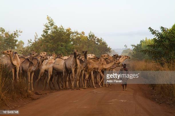 kenya, meru, herd of camels - meru filme stock-fotos und bilder
