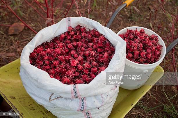 kenya, meru, meru herbs factory, hibiscus - meru filme stock-fotos und bilder