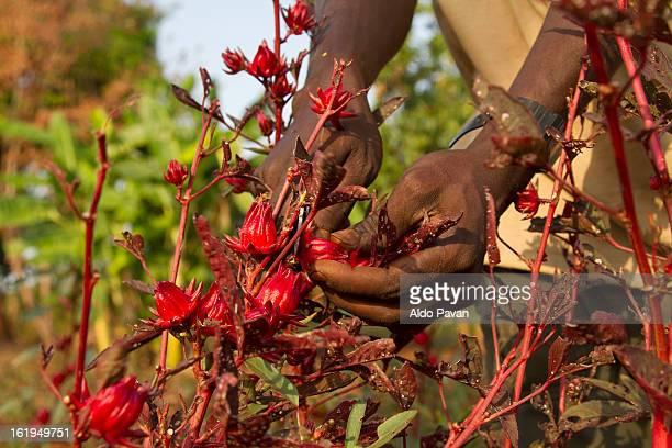 kenya, meru, meru herbs, hibiscus harvesting - meru filme stock-fotos und bilder