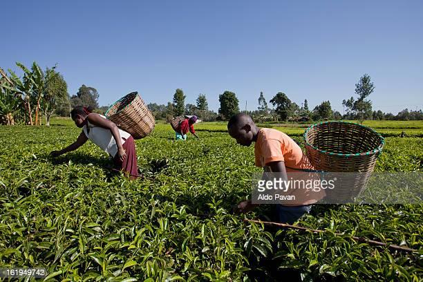 kenya, meru, tea picking - meru filme stock-fotos und bilder