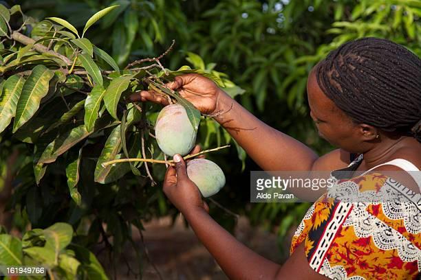 Kenya, Meru, woman looking mangoes