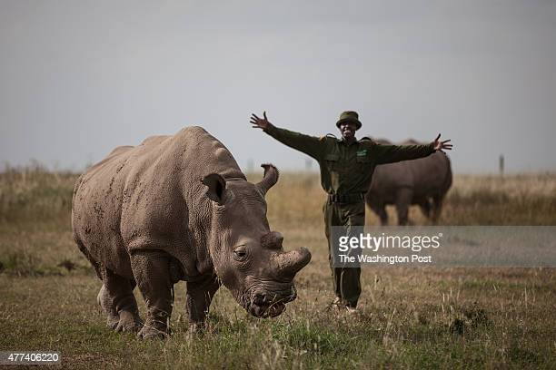 CONSERVANCY Kenya Mohammed Doyo head caretaker greets Najin a northern white rhino female With just five northern white rhinos left on earth three of...