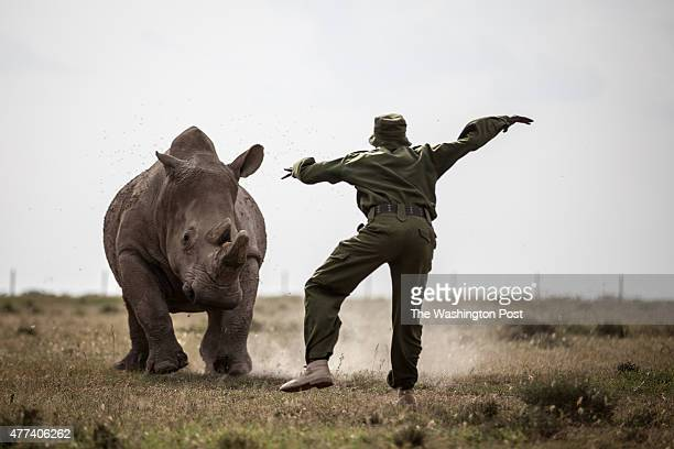 CONSERVANCY Kenya Mohammed Doyo head caretaker scares away a southern white rhino while Najin a northern white rhino female is fed With just five...