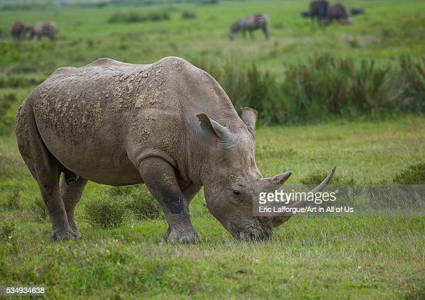 Kenya, Nakuru district of the Rift Valley Province, Nakuru, black rhinos