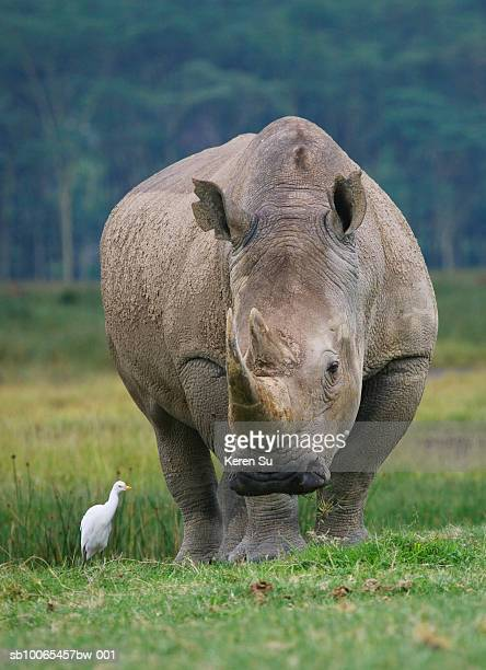 Kenya, Nakuru, Stork with White Rhino (Ceratotherium simum) on grass