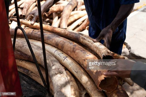 Kenya Ports Authority employee weighs ivory tusks on January 21 2013 at the port of Mombasa after their seizure by officials on January 15 Kenya...