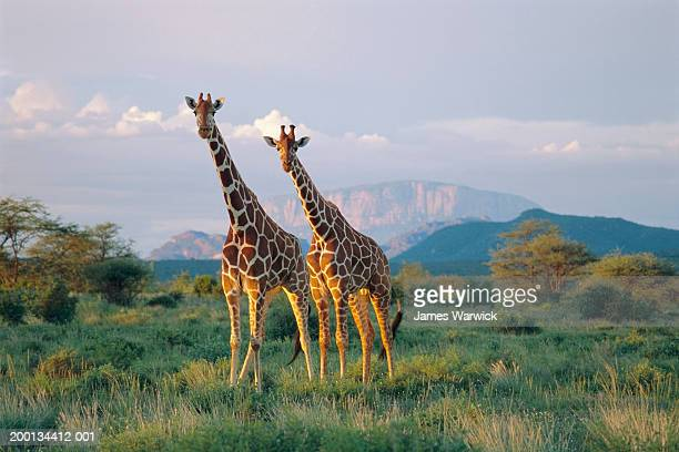 kenya, reticulated giraffes in buffalo springs national reserve - giraffe stock pictures, royalty-free photos & images