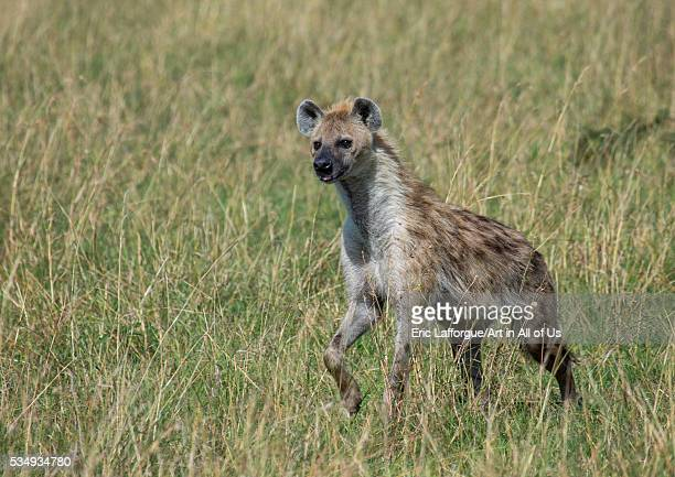 Kenya Rift Valley Province Maasai Mara a spotted hyena in the grass