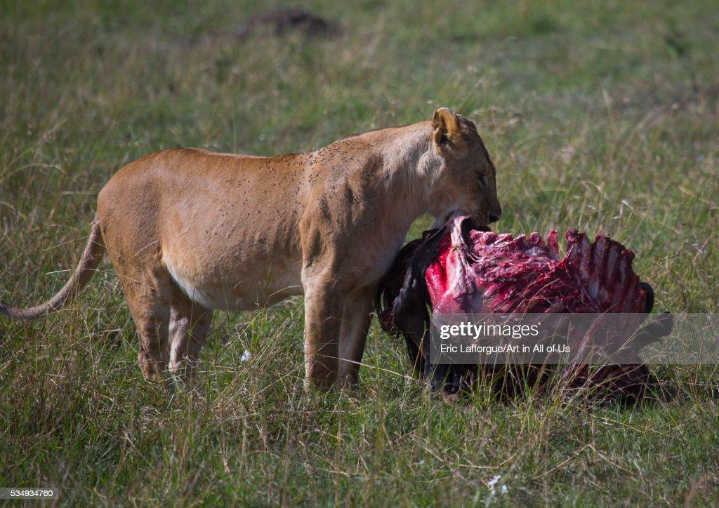 Kenya, Rift Valley Province, Maasai Mara, lioness (panthera leo) eating a wildbeest : News Photo