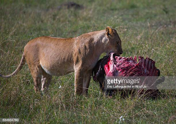 Kenya Rift Valley Province Maasai Mara lioness eating a wildbeest