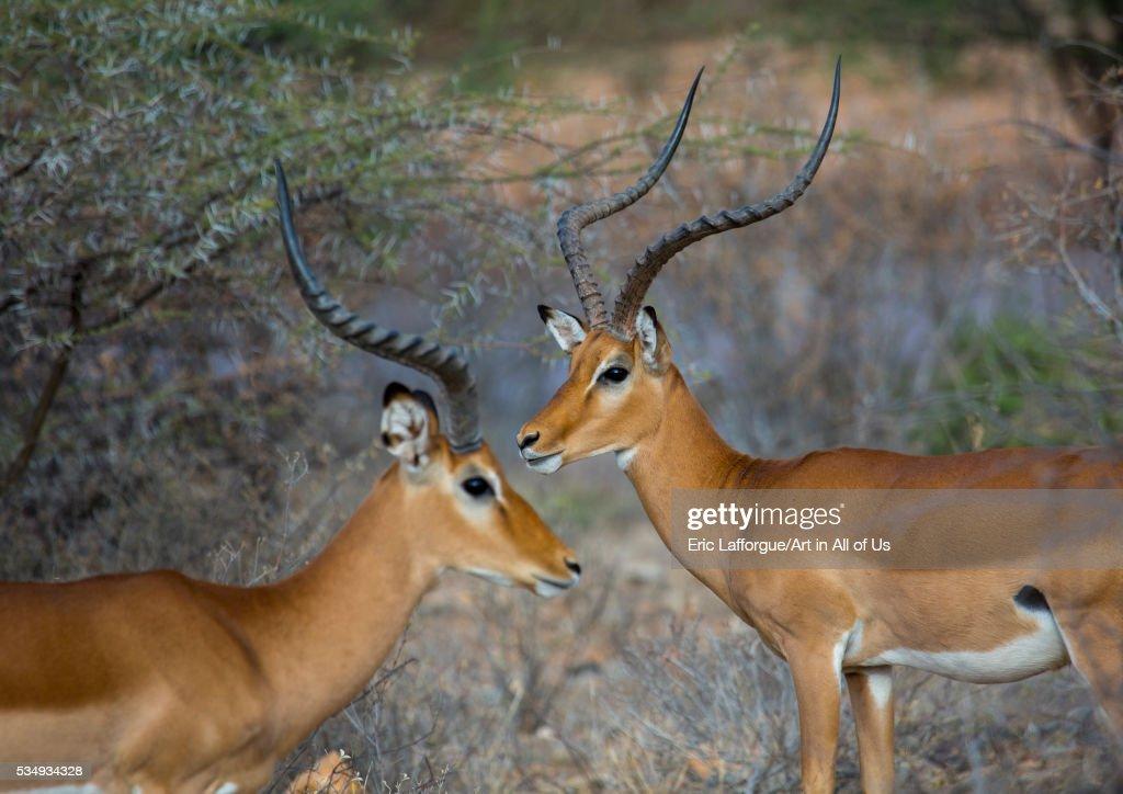 Kenya, Samburu County, Samburu National Reserve, male impalas (aepyceros melampus) : News Photo