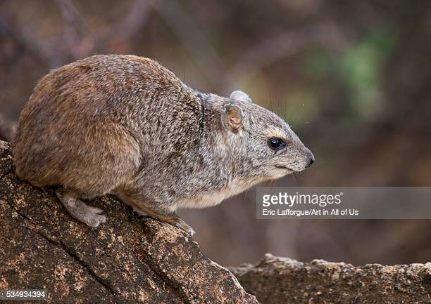 Kenya Samburu County Samburu National Reserve rock hyrax