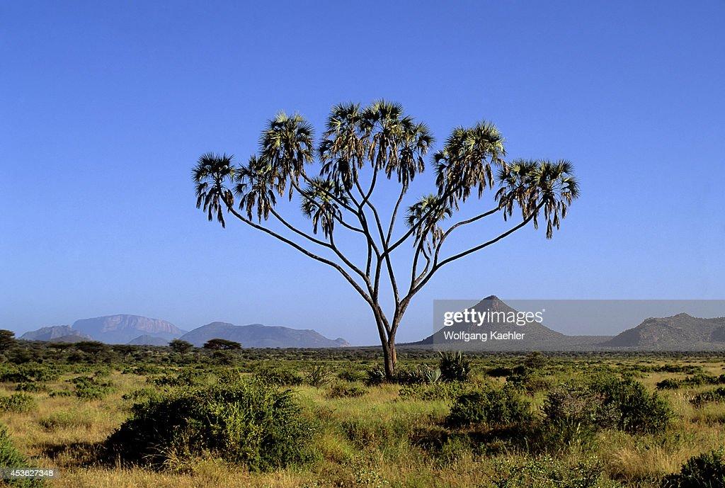 Kenya, Samburu, Doum Palm, Hyphaene compressa, Palmae Family... : News Photo