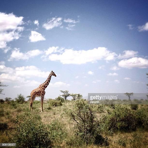 Kenya, Samburu National Park, View of giraffe