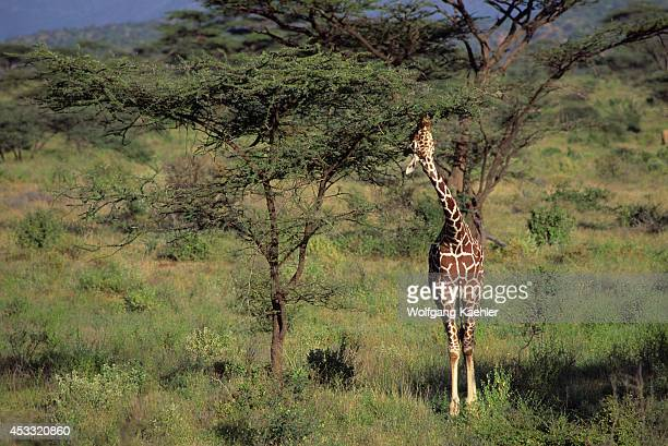 Kenya Samburu Reticulated Giraffe Feeding On Acacia Tree