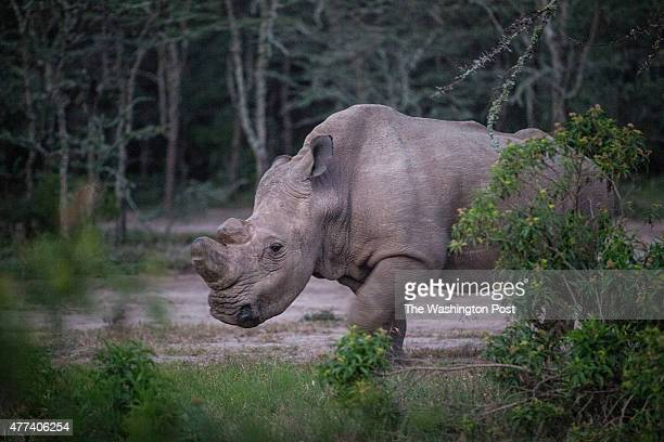 CONSERVANCY Kenya Sudan the last male northern white rhino left on the planet lives alone in a 10acre enclosure with 24hour guards With just five...