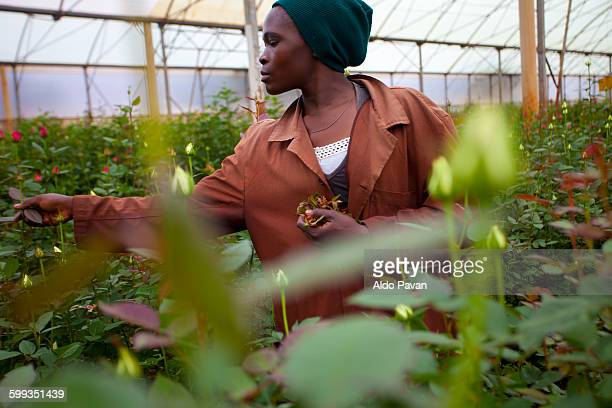 Kenya, Thika, Simbi Roses fair trade farm