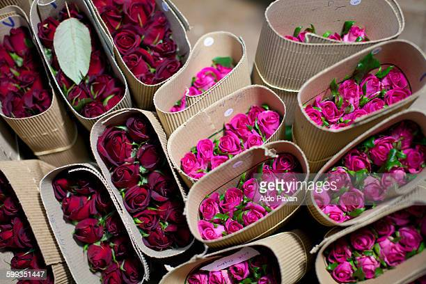 kenya, thika, simbi roses fair trade farm - magenta stock pictures, royalty-free photos & images