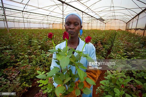 kenya, thika, simbi roses fair trade farm - kenia stock-fotos und bilder