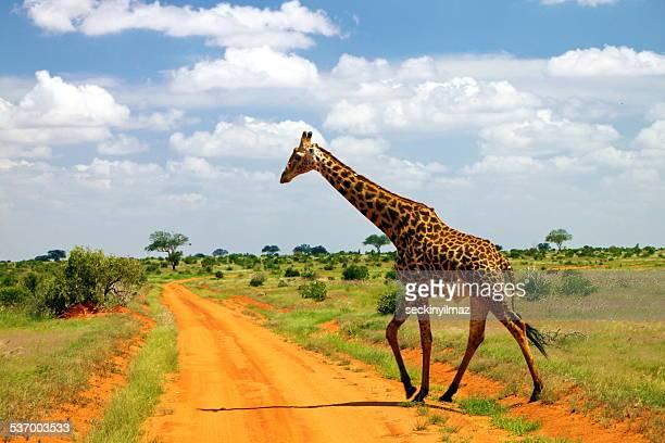 Kenya, Tsavo East, Giraffe walking across dirt road in savannah